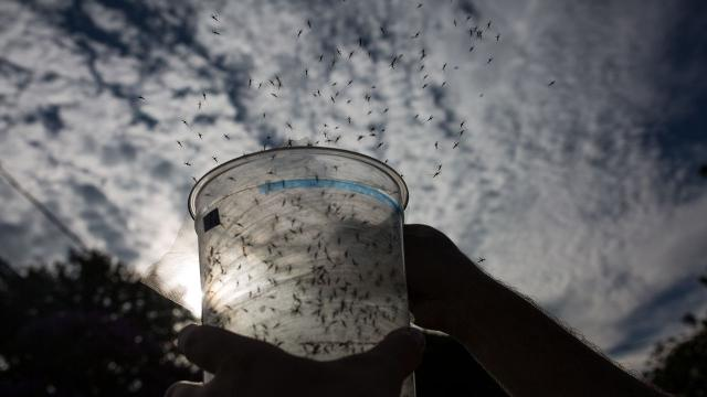 Genetically modified mosquitoes could battle Zika virus in Florida