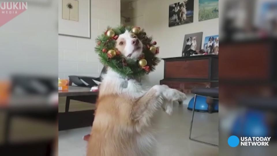 This festive dog is spreading holiday cheer one jump, spin and tail wag at a time.