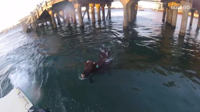 Cow literally jumps ship, swims to freedom