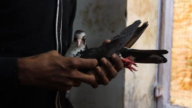 Across from the Red Fort of the Mughal emperors in the heart of Old Delhi, a small hospital run by followers of the Jain faith looks after birds battered by harsh life in the Indian capital. Video provided by AFP