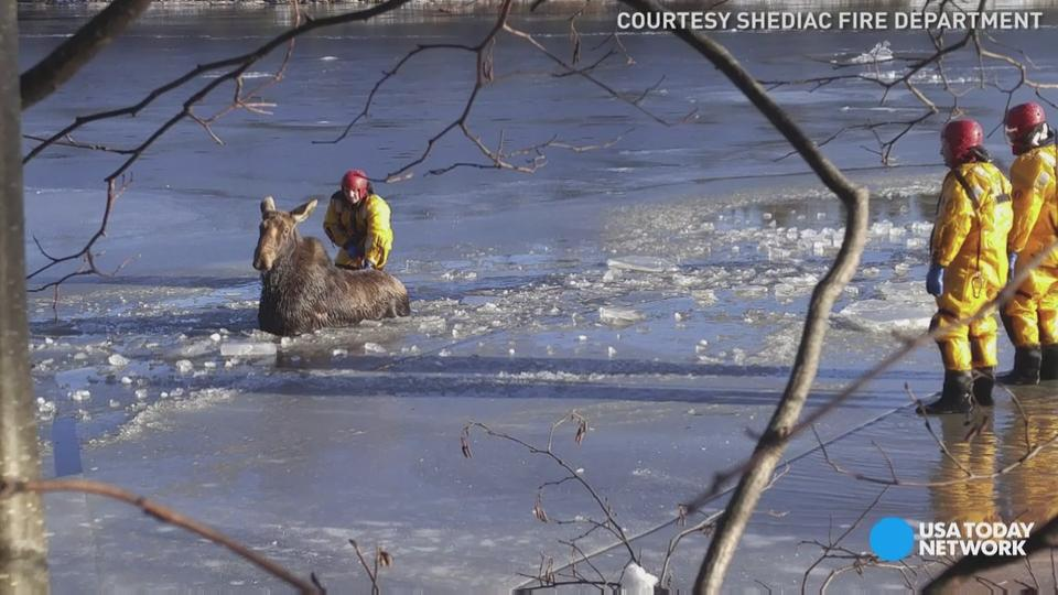 This moose has firefighters to thank for its freedom. Watch them rescue the animal from the frozen Shediac River in New Brunswick, Canada.