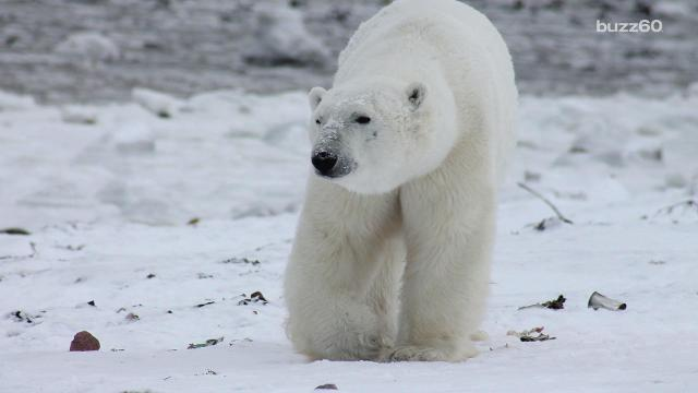 Polar bear numbers could drop by a third due to melting sea ice