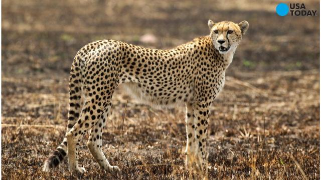 a study on the cheetah The results of my research showed which prey the carnivores, including the  cheetah, were eating these results will help ccf protect the cheetah in several .
