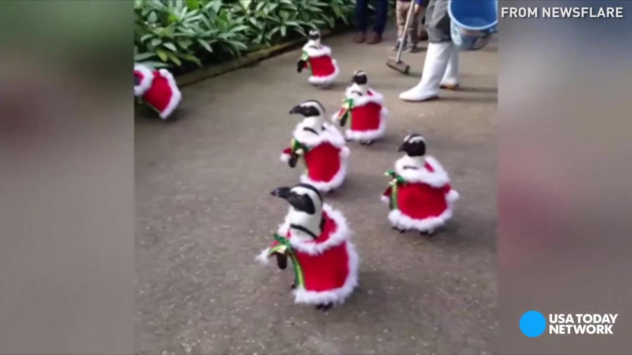 Spotted: Penguins dressed in Santa costumes waddling around a park in Japan.