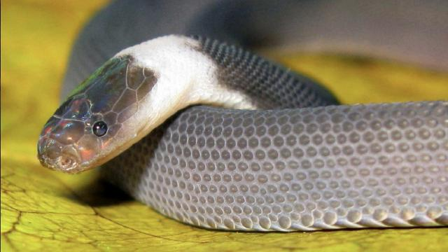 The 'Ziggy Stardust' snake is one of many newly discovered species