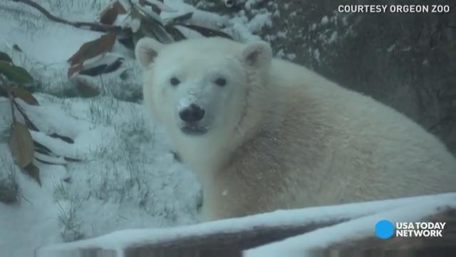 Oh what fun Nora the polar bear and two otters had during a snow storm at the Oregon Zoo.
