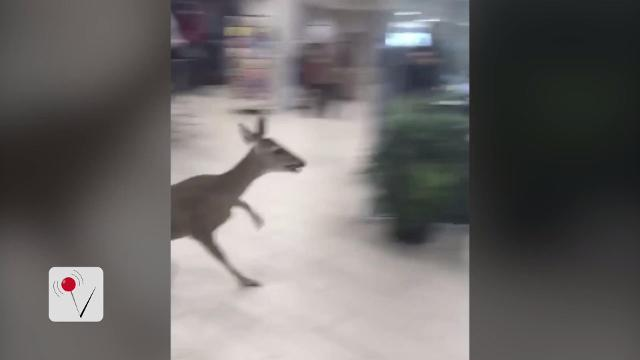 Deer sneaks into a Lexus car dealership, dashes away from commitment
