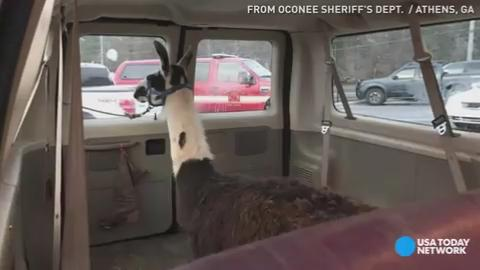 Police in Athens, Georgia had their hands full when a llama broke free.