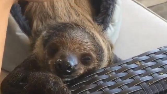 Take a break and chill out with Khaleesi, the pet sloth