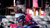Yappy new year for Japan's worshipping pets