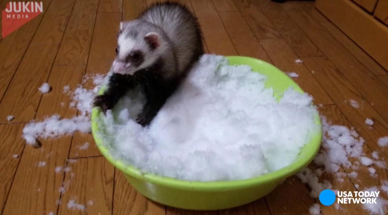 This ferret was super excited to play in a bucket of snow.