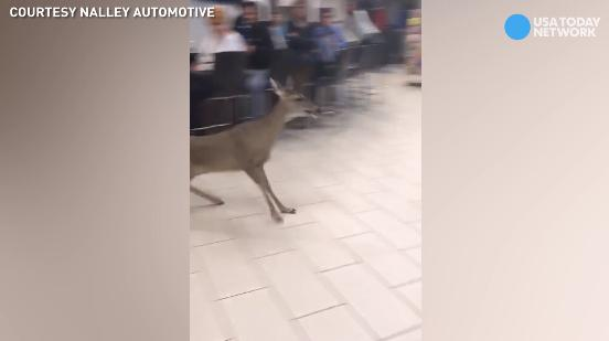 Oh, Deer! Car dealership gets unexpected visitor