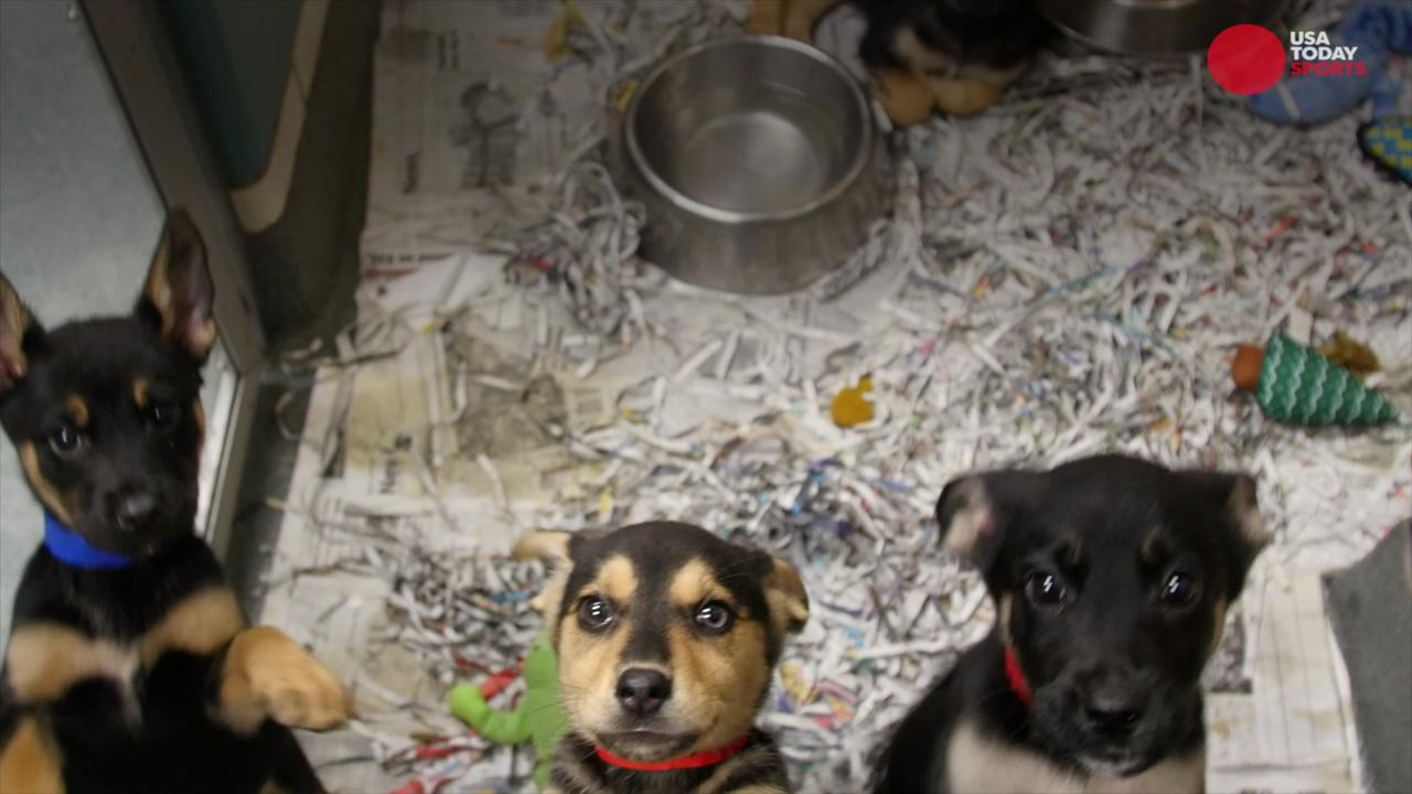 Where do the 'Puppy Bowl' pups come from?