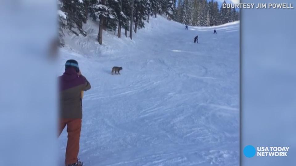 A lynx was seen walking by as skiers came down a mountain in Colorado.