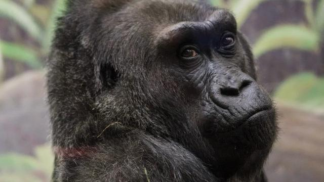 The world's first gorilla born in a zoo, a female named Colo who was the oldest known living gorilla in the US, has died at age 60. Colo died in her sleep overnight at the Columbus Zoo and Aquarium, less than a month after her birthday. (Jan. 17)