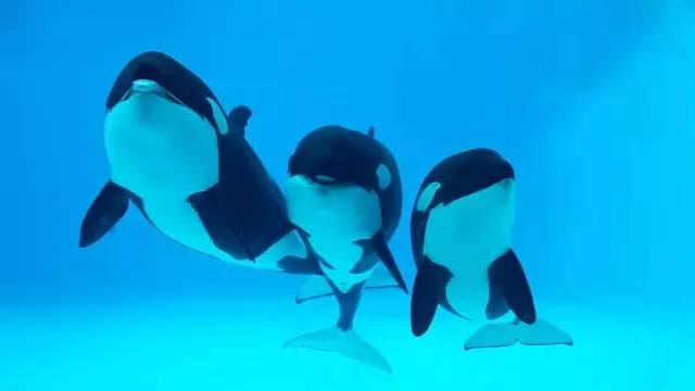 China embraces killer whale shows, even as SeaWorld ends them