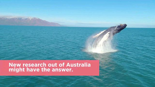 Anyone lucky enough to see a massive whale leap through the air must have wondered why it does it—and new research out of Australia might have the answer.