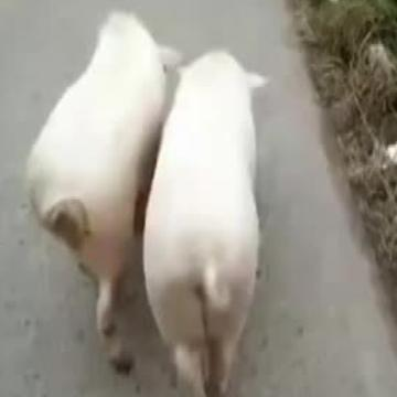 These pigs have some serious swagger