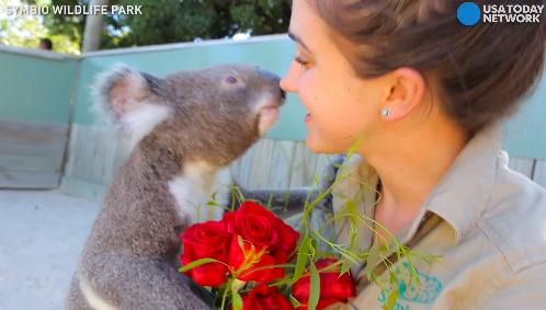 Koalas compete to be zookeeper's Valentine