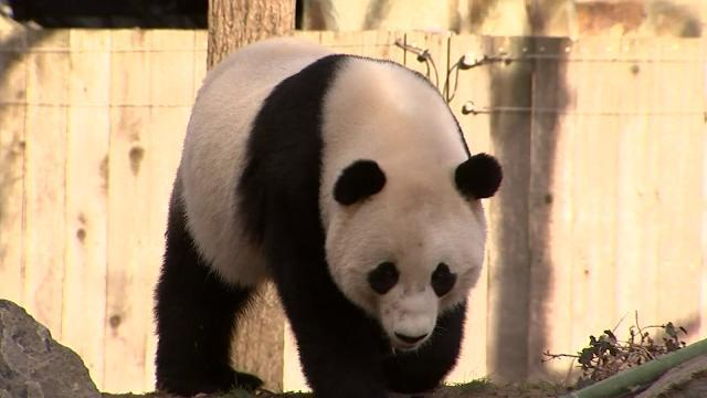 D.C. zoo says bye bye to Bao Bao the giant panda