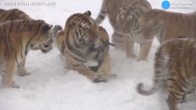 Tigers knock drone out of sky, try to eat it