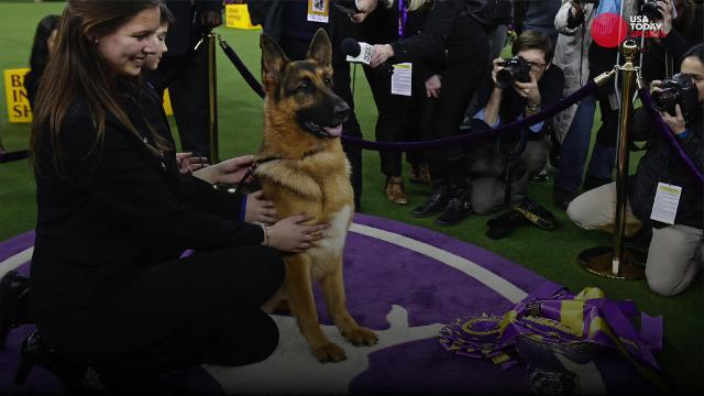 Rumor wins Westminster Kennel Club's Best in Show