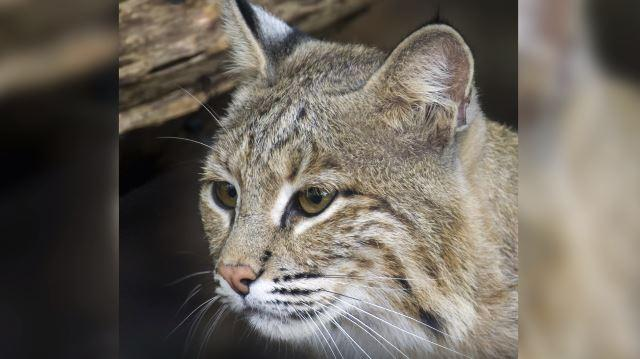 Ollie the bobcat's tale came to a happy end as the missing animal was found safe and sound by Smithsonian Zoo staff. Days after she went missing, visitors reported seeing her near...where else...the Bird House!