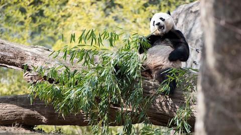 Giant Panda Bao Bao Arrives Safely in China