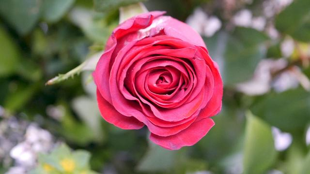 Everything you need to know about buying flowers for for Buying roses on valentines day