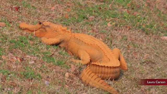 Too much self-tanning lotion? Orange gator puzzles residents