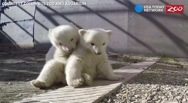 Double the cuteness with Columbus Zoo and Aquarium's brand new polar bear twins. Watch the cubs settle into their new home with their mom, Aurora.