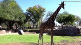 These giraffes love to play soccer