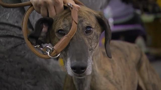 The Westminster Dog Show Welcomes New Breeds