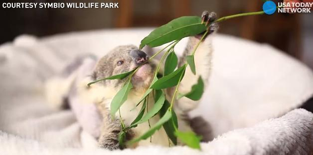 Just a baby koala chewing on some leaves