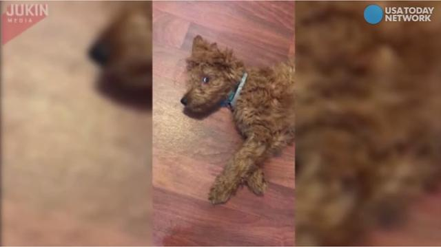 This adorable dog has a bad case of the hiccups...and he isn't too happy about it!