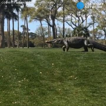 Giant gator stalls golf game