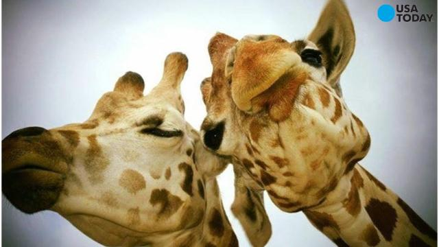 Curious what all of this giraffe fuss is about?