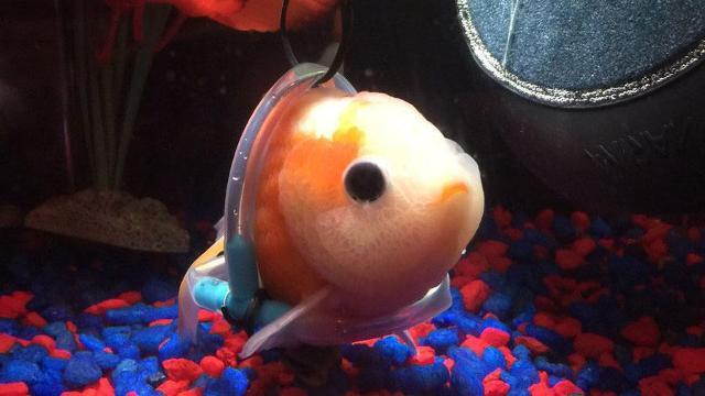 Man crafts 'wheelchair' for adorable disabled fish