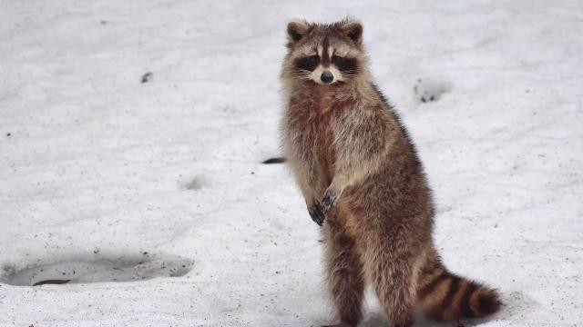 zoo claims their raccoon is obsessed with
