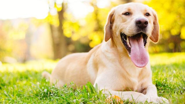 Labs extend their reign as most popular dog