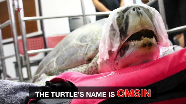 Why this endangered sea turtle needed surgery #B31851