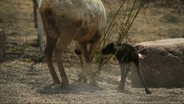 Raw: Ill. Zoo Welcomes Male Reindeer Fawn