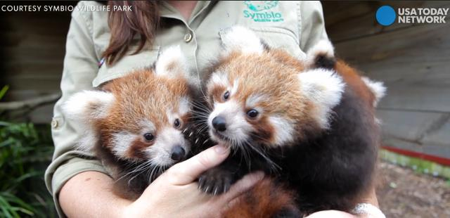Seeing triple: Rare red panda cubs make debut