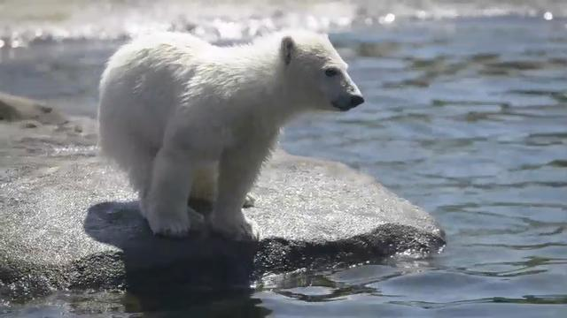 Raw: Ohio Zoo Shows Off Adorable Polar Bear Cub