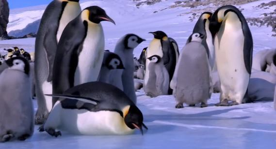 Clumsy penguins caught on candid camera