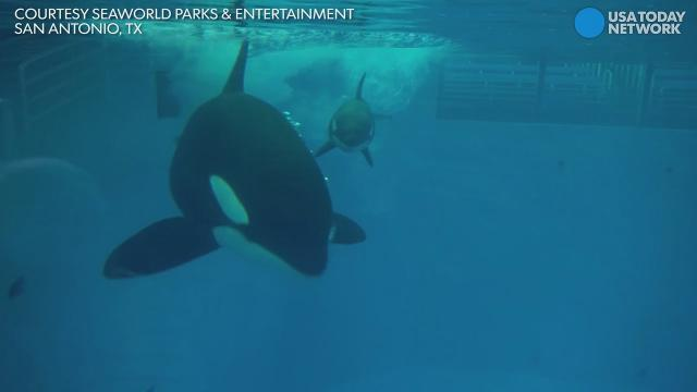 Baby orca and mom bond at SeaWorld