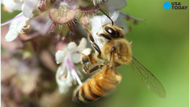 Honeybee colonies are dying, and it impacts our food