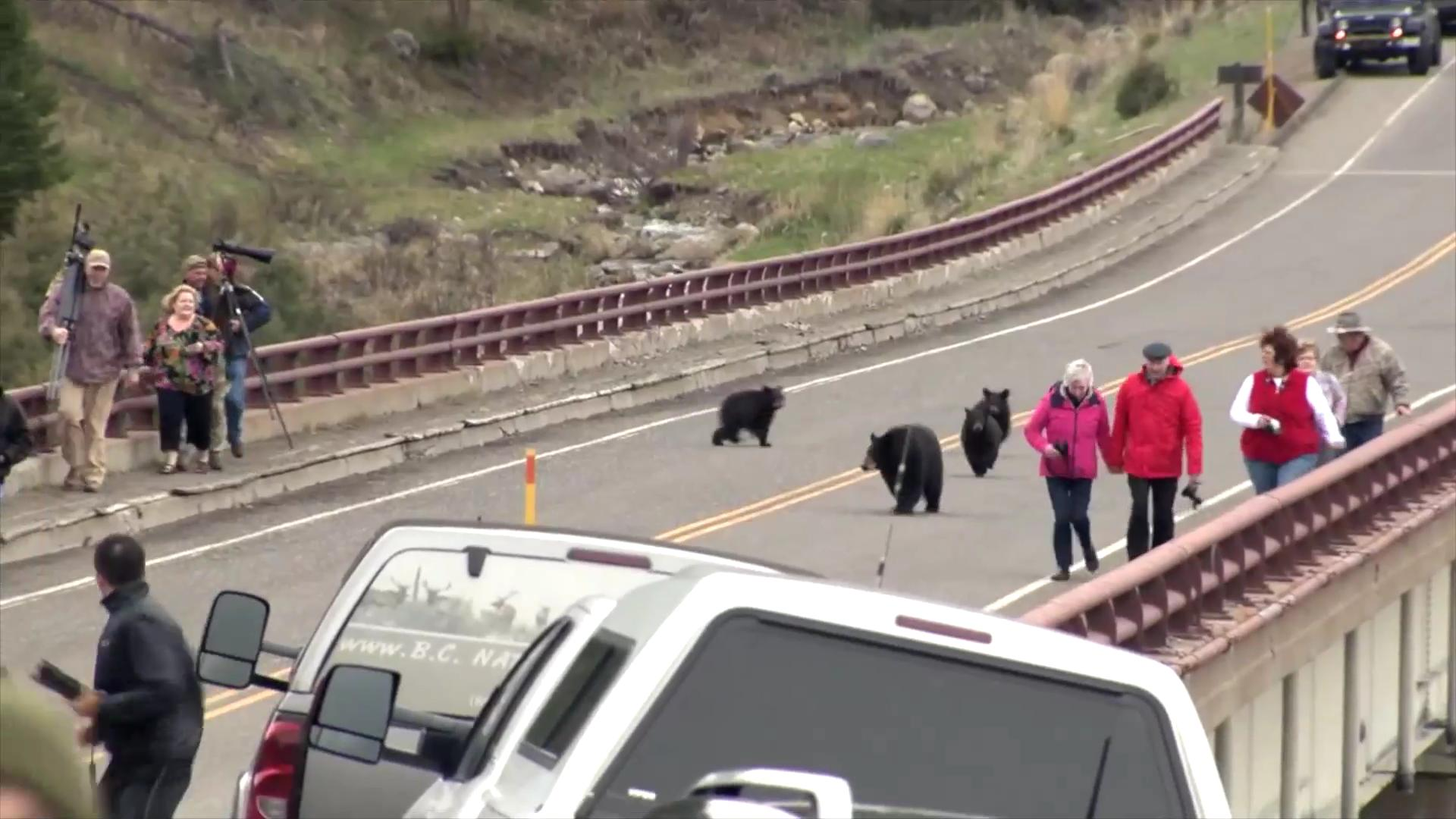 Black bear chases tourists who get too close to her cubs