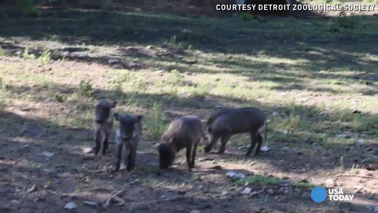Warthog piglets named for 'Game of Thrones' characters