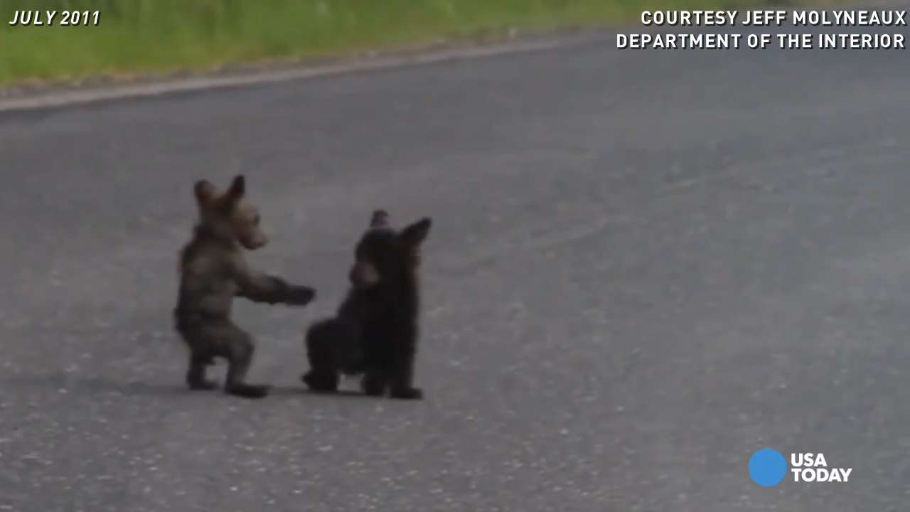 Watch bear cubs frolic at Yosemite National Park